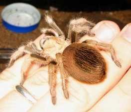 Aphonopelma chalcodes (Mexican Blond)
